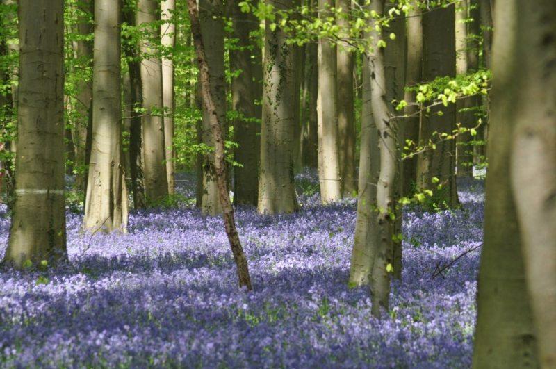 Foresta blu di Hallerbos