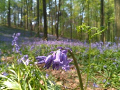 campanule nella foresta di hallerbos