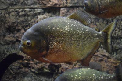 museo storia naturale piranha
