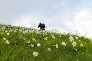 Fioritura delle giunchigle monte croce