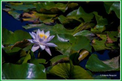 coltivazione di fiori di loto a Massarosa