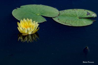 Fiori di loto sul lago di Massaciuccoli