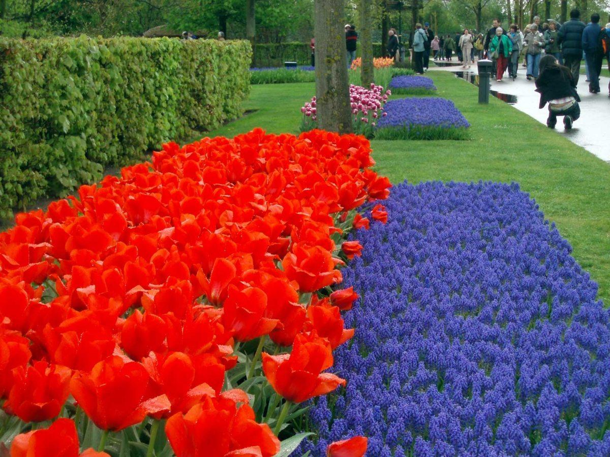 keukenhof tulipani fluo