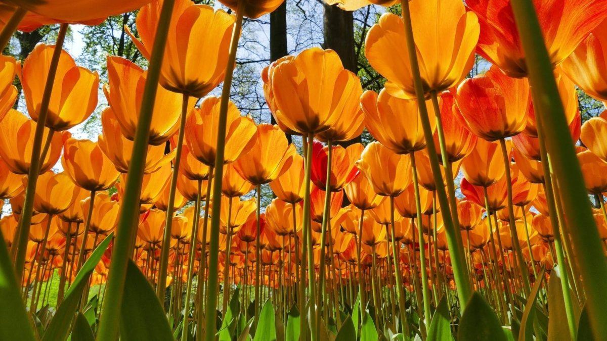 Keukenhof - tulipani in fiore
