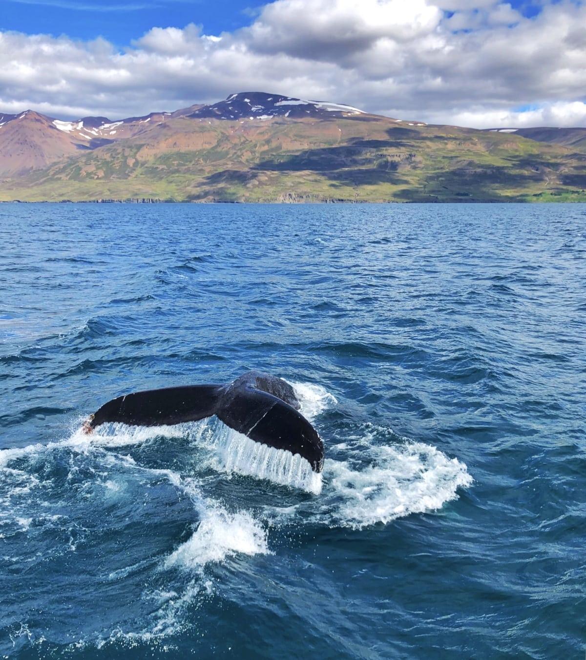 Balena Islanda