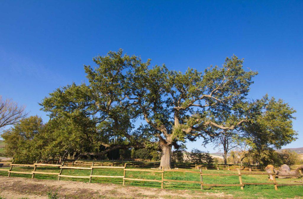 Oak of the Checche val d'Orcia